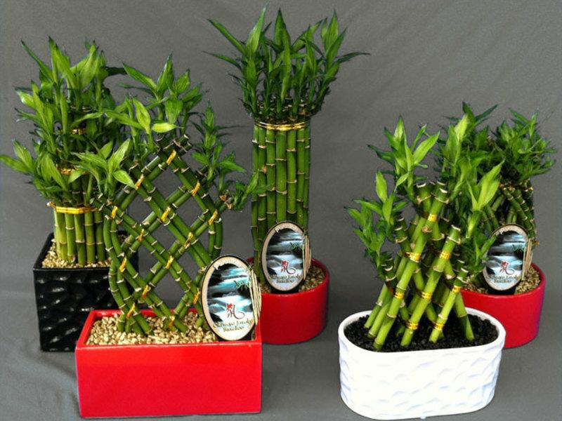Комнатный бамбук (драцена сандера)