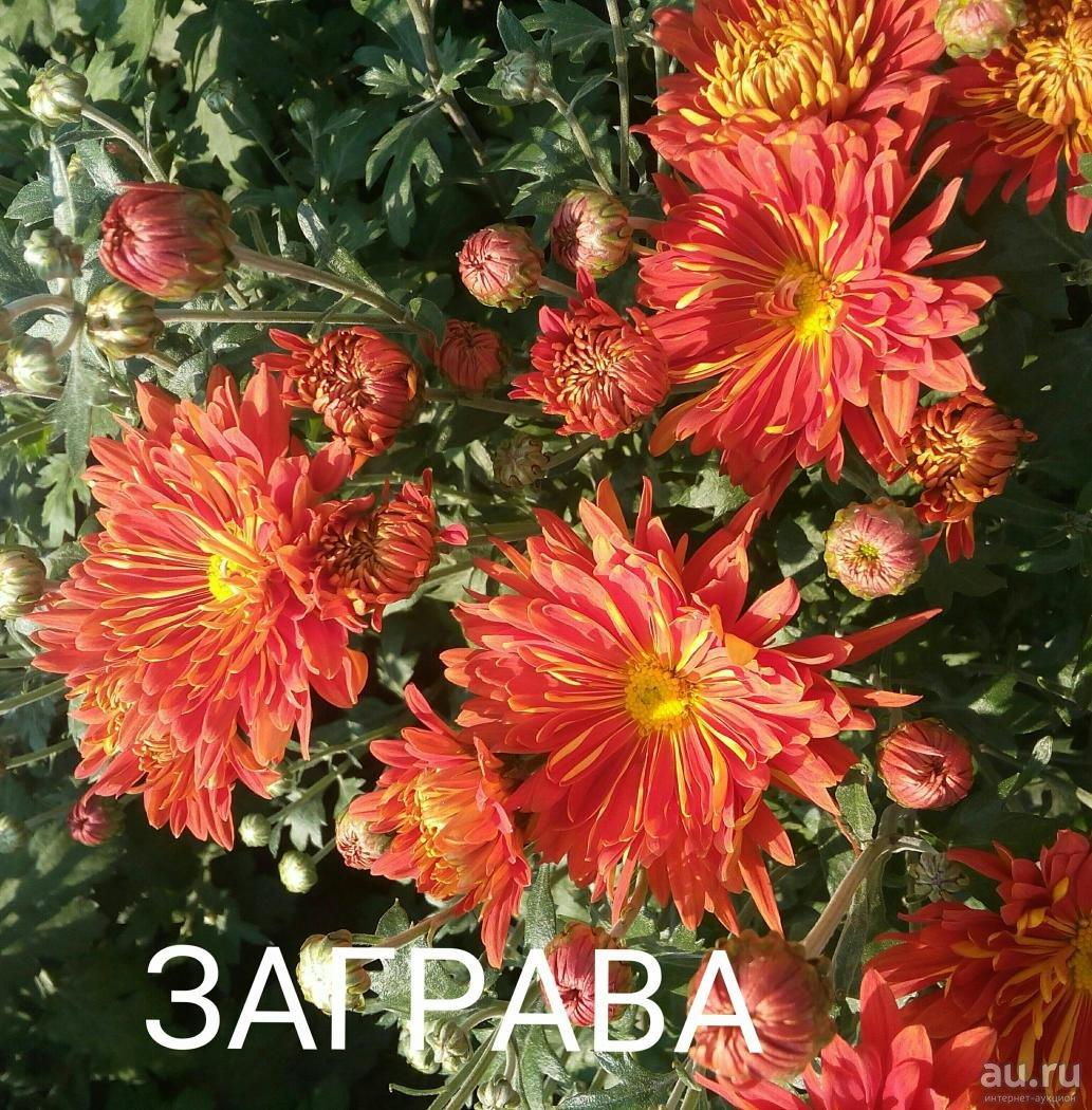 Хризантема индийская смесь выращивание из семян