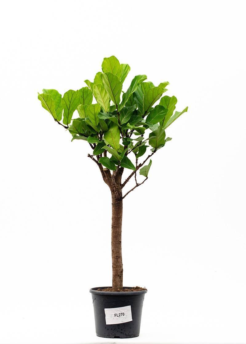Фикус микрокарпа «мокламе» (25 фото): уход за штамбом в домашних условиях. что делать, если опадают листья? размножение и формирование кроны