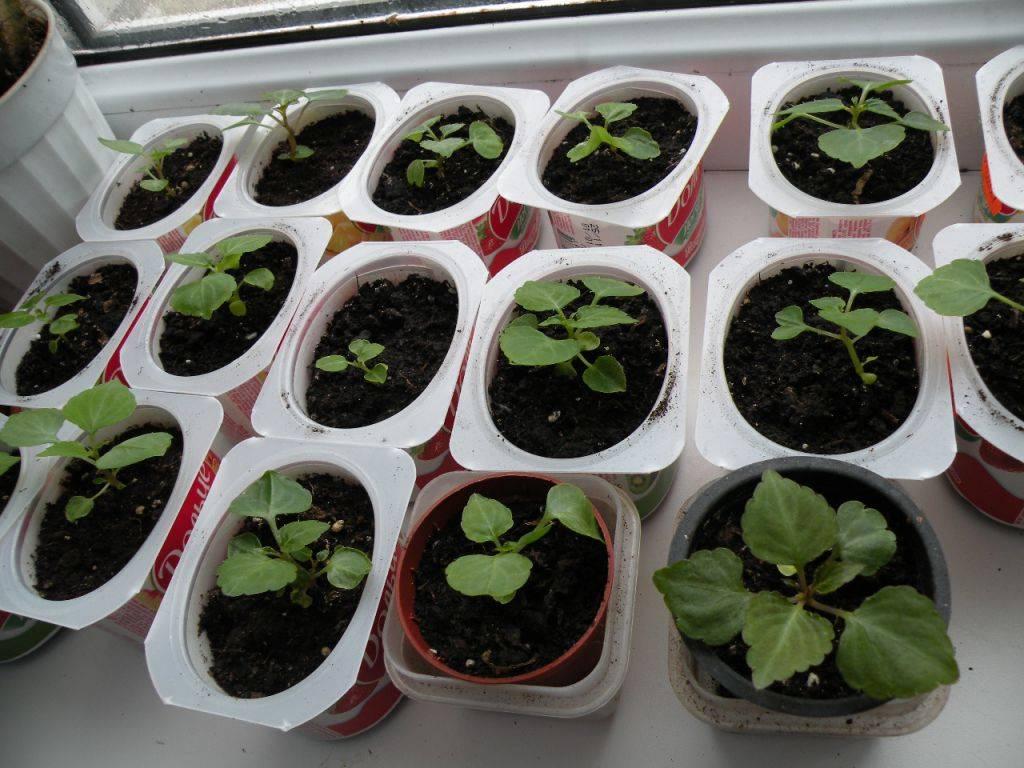 Бальзамин том самб выращивание из семян