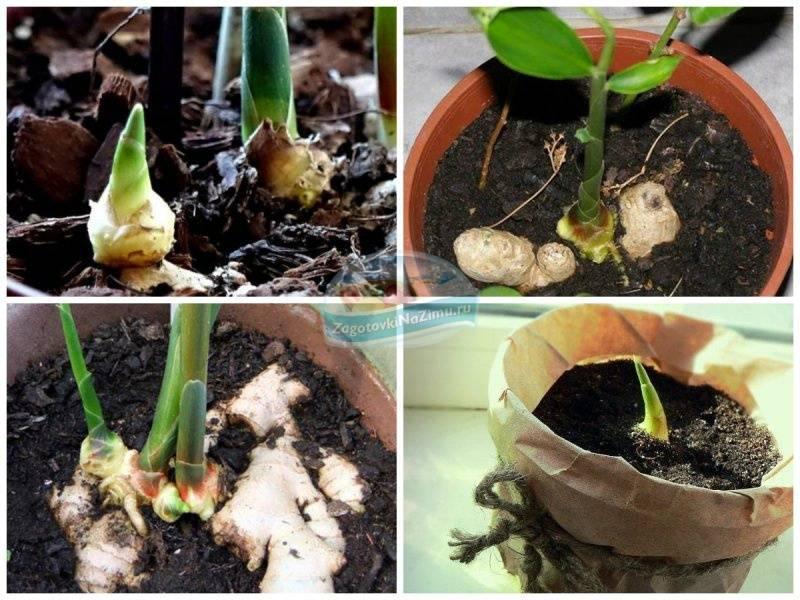 Как выращивать имбирь на огороде: можно ли возделывать корень в открытом грунте в подмосковье и средней полосе россии, как это сделать у себя на даче?