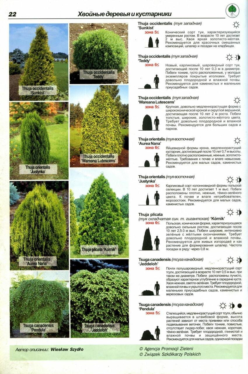 Идеи по использованию хвойных деревьев и кустарников в ландшафтном дизайне дачного участка