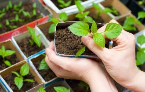 Выращиваем люпины. посадка и уход в открытом грунте