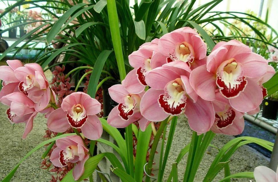 Орхидея цимбидиум: уход в домашних условиях, пересадка, болезни и вредители