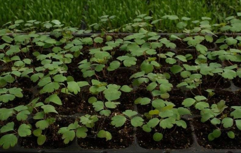 Аквилегия: выращивание из семян рассадой