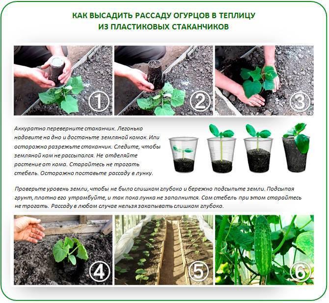 Все об уходе за спараксисом: выращивание цветов, посадка в открытый грунт