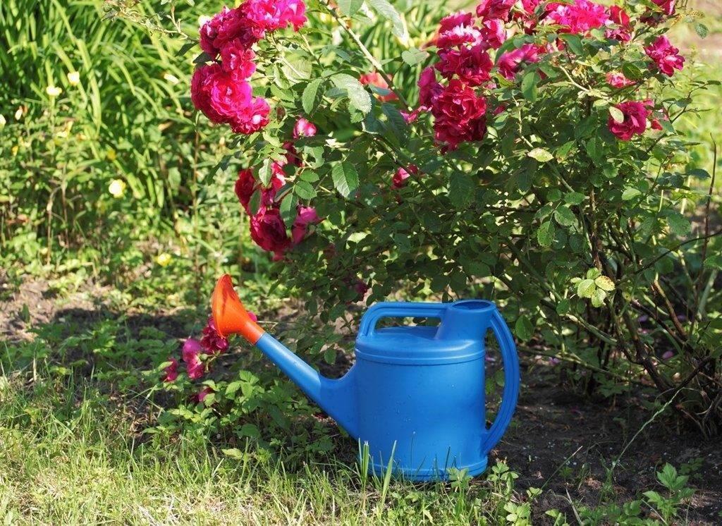 Чем подкормить розы весной — для буйного цветения