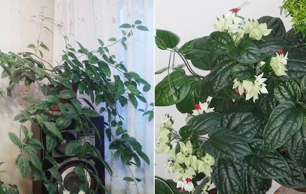 Желтеют, сохнут и опадают листья у комнатных роз в горшке: почему, что делать