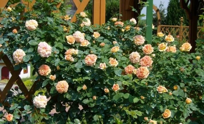 Как вырастить розу польку на даче? описание