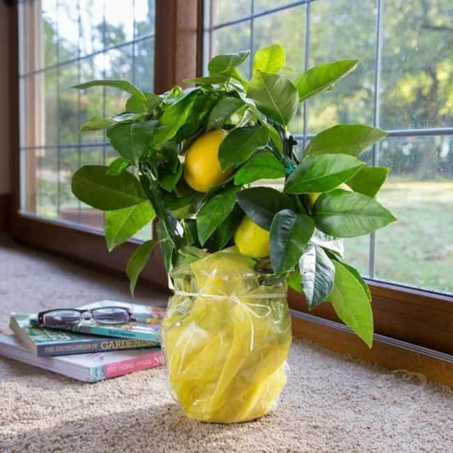 Лимонник дальневосточный — выращивание и уход