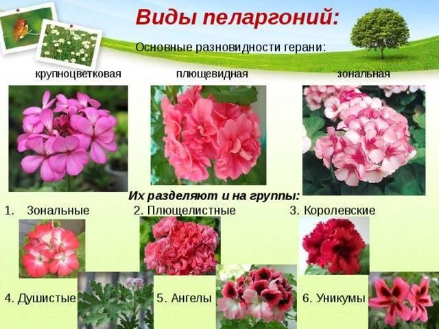 Виды и сорта пеларгонии