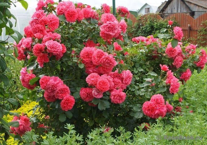 Роза «сантана»: особенности и рекомендации по уходу