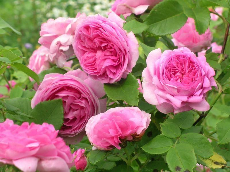 Роза августа луиза (augusta luise): фото и описание, правила формирования куста, видео, отзывы
