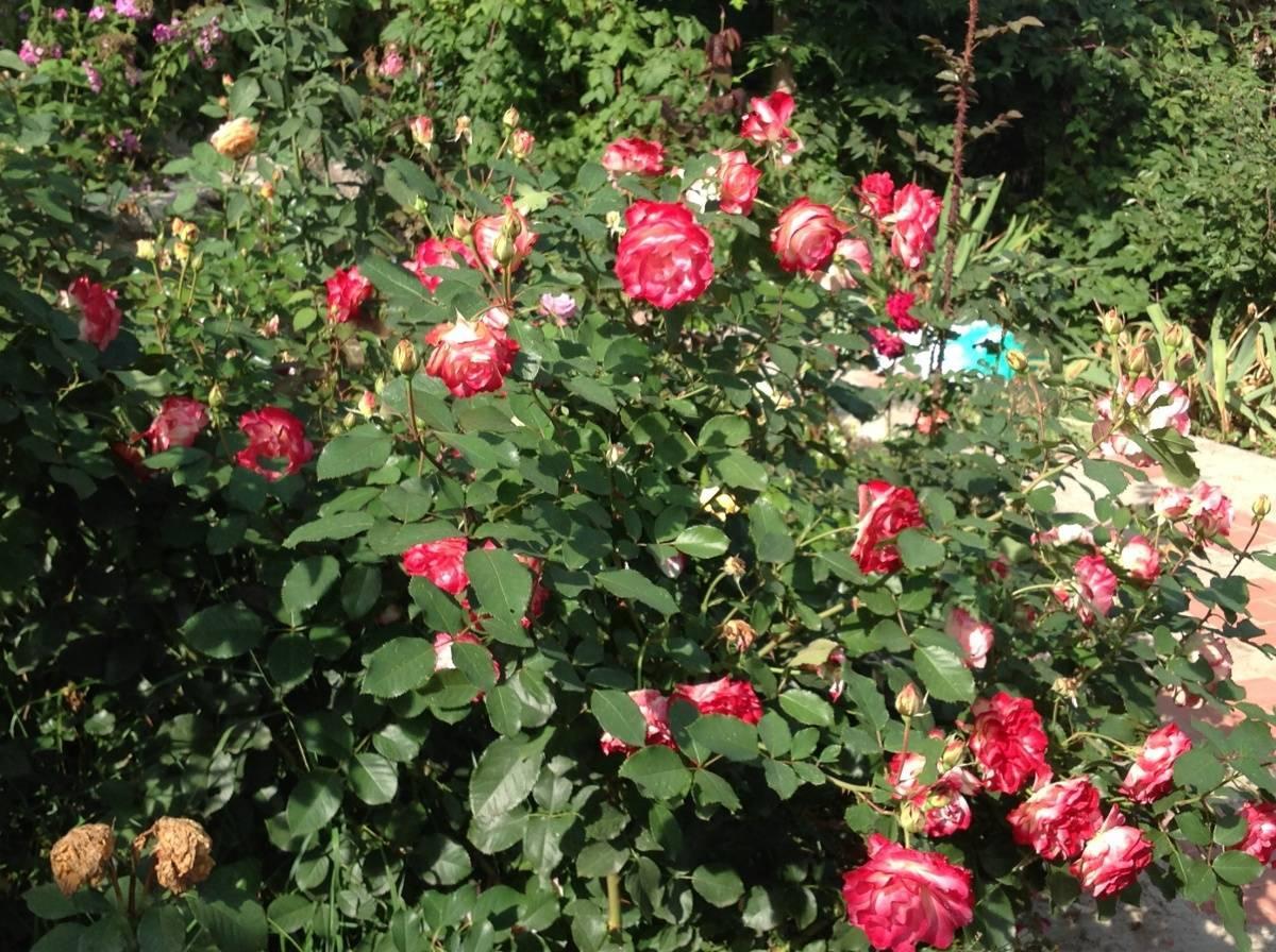 Роза юбилей принц де монако (jubile du prince de monaco): описание и фото сорта мейян жубиле (жюбиле) дю принс, применение в ландшафтном дизайне, уход и размножение