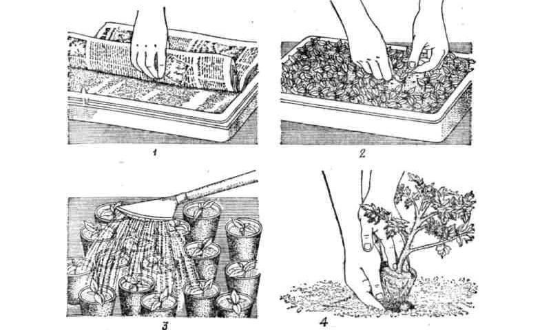 Как вырастит теплолюбивый агапантус в саду и дома