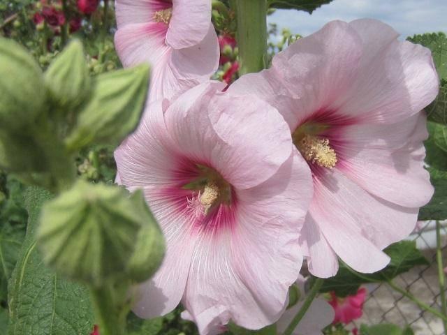 Мальва многолетняя (57 фото): посадка и уход в открытом грунте, сорта цветка. как вырастить осенью? как размножается? разновидности
