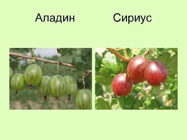 Йошта — полезный ягодный гибрид
