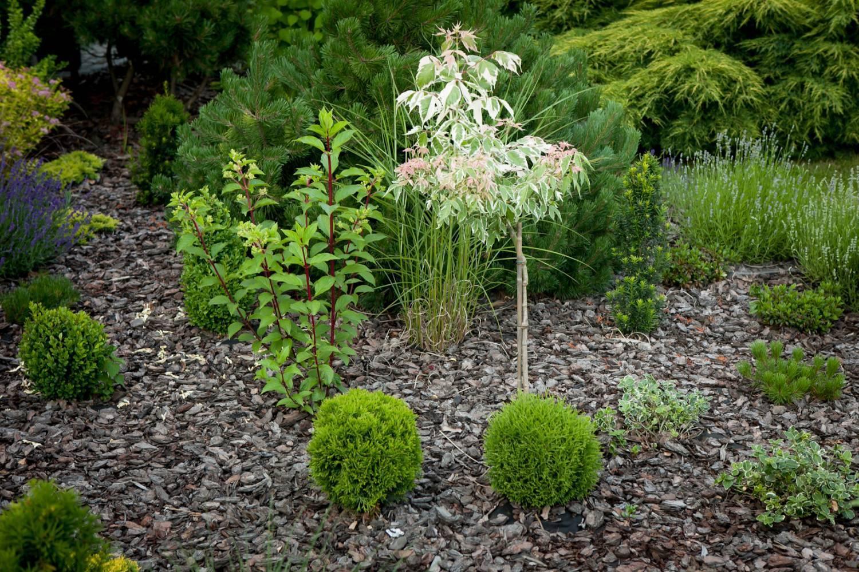 Вудварди: туя шаровидная, посадка и уход в открытом грунте в саду