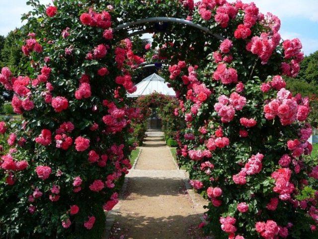 Техника выращивания за сортом плетистой розы парад: как ухаживать за клаймингом