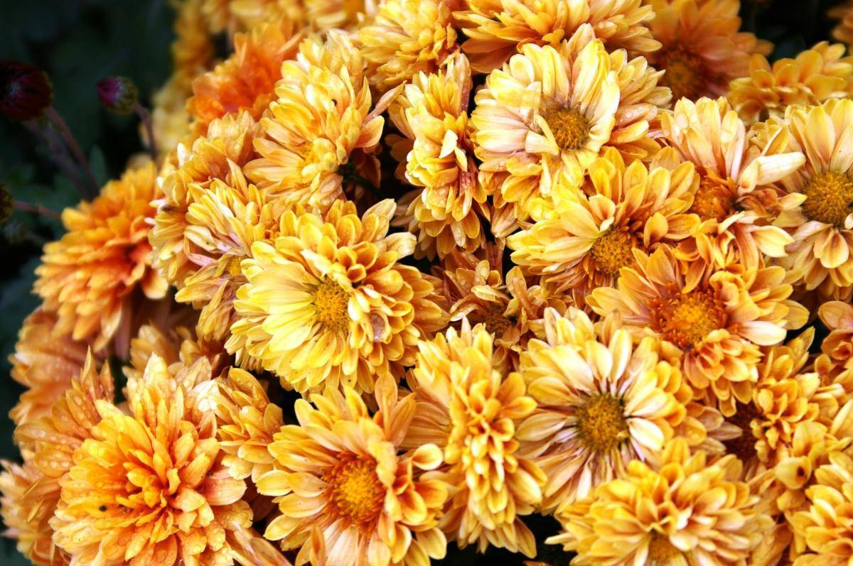 Цветы хризантемы — летняя, красная, махровая