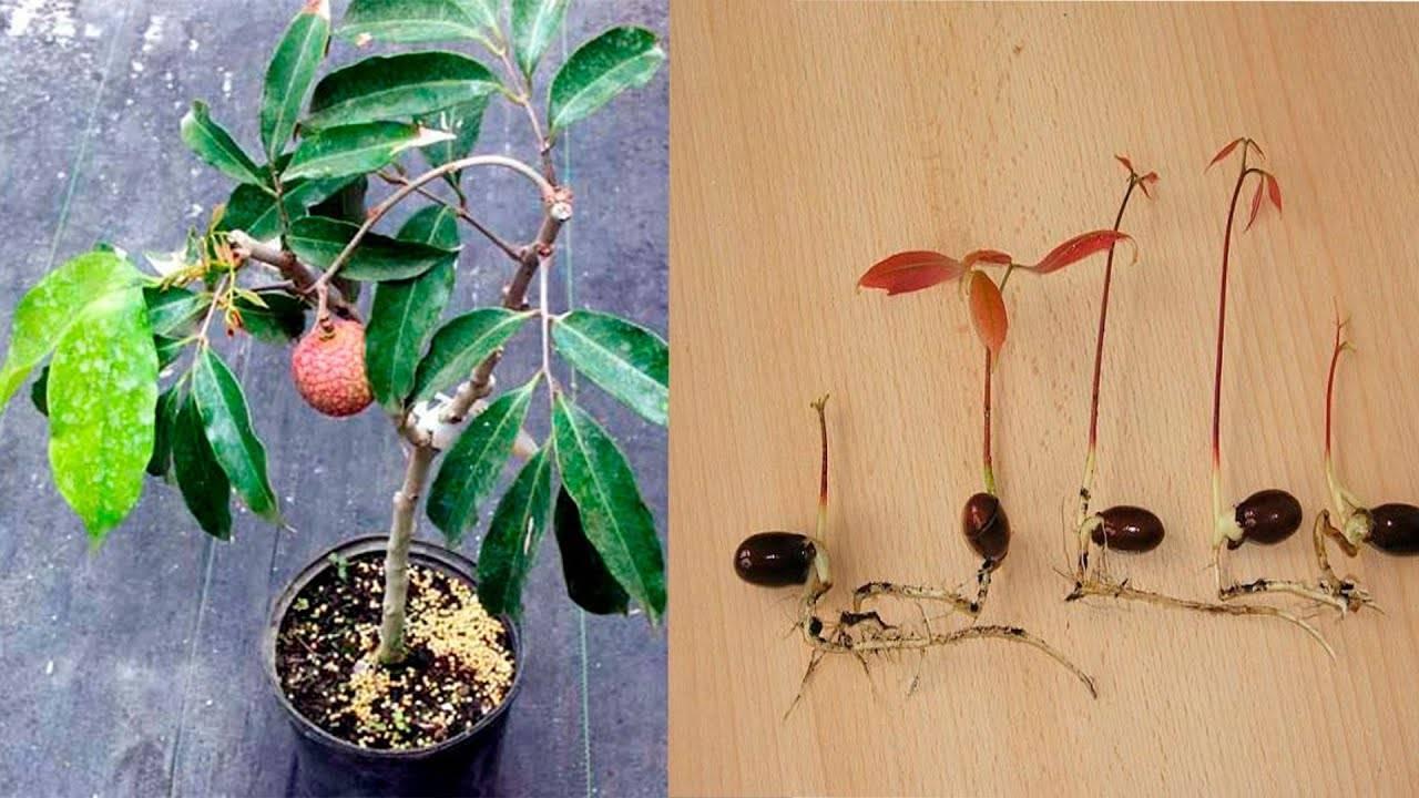 Личи из косточки в домашних условиях — выращивание и уход