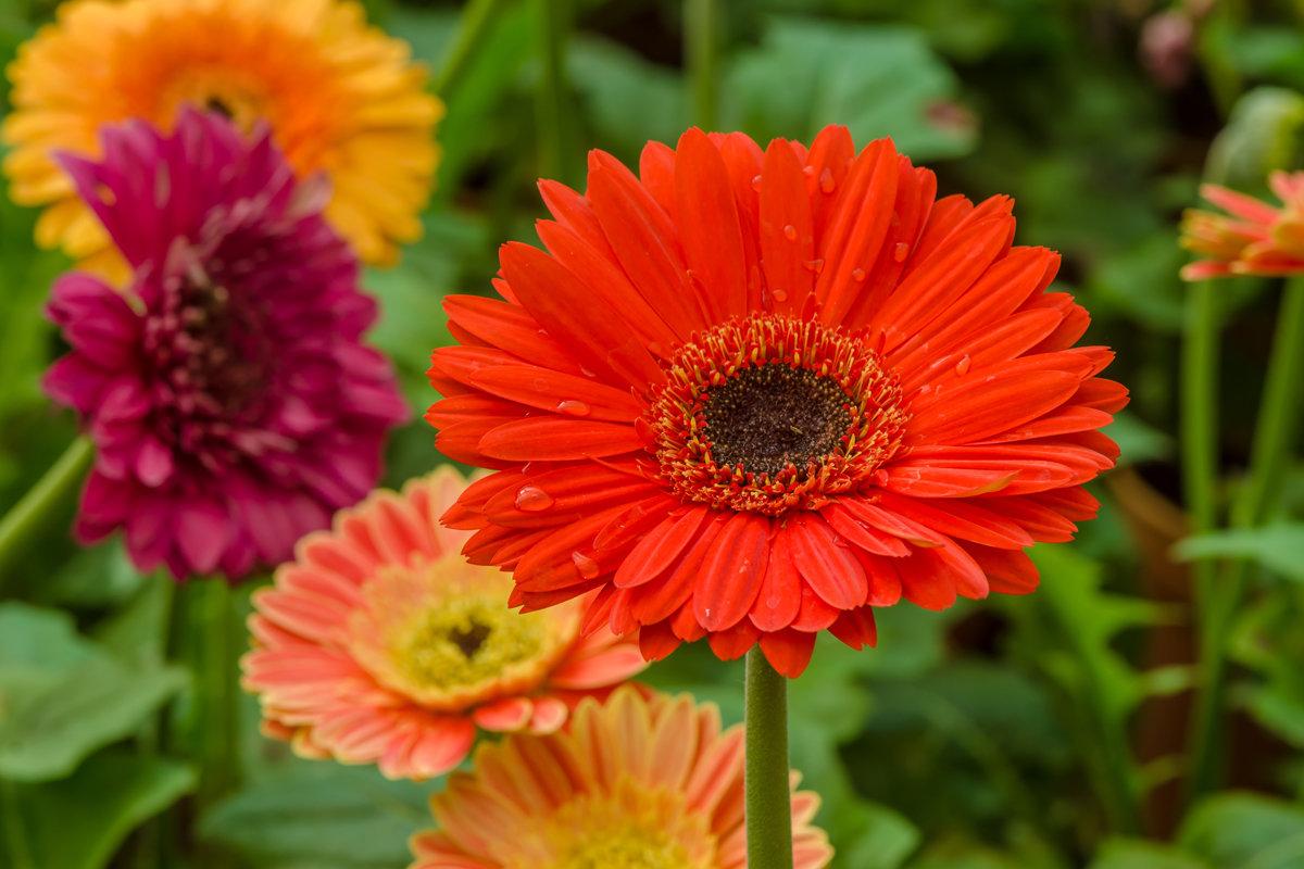 Всё о цветах герберах и цветах похожих на герберы: как называются и выглядят