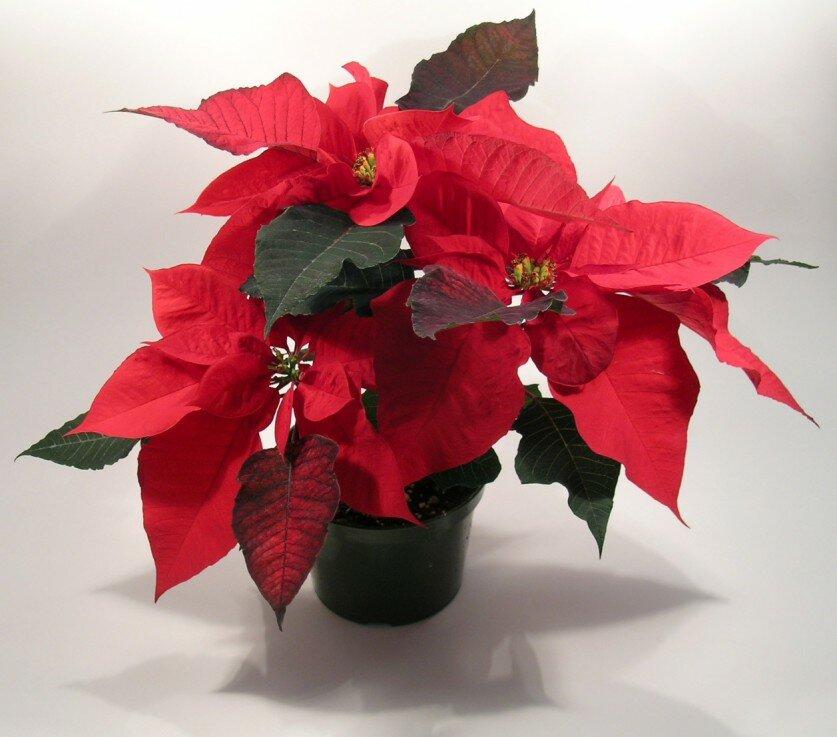 Как ухаживать за цветком рождественская звезда в домашних условиях