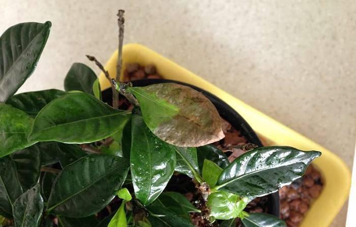 Реанимация азалии: как спасти цветок, если он сохнет, замерз, залит или болеет