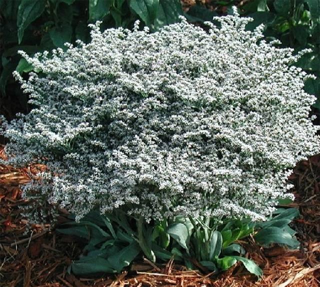 Кермек (статица) — секреты выращивания пышного букета. многолетники в саду: кермек татарский, он же перекати-поле