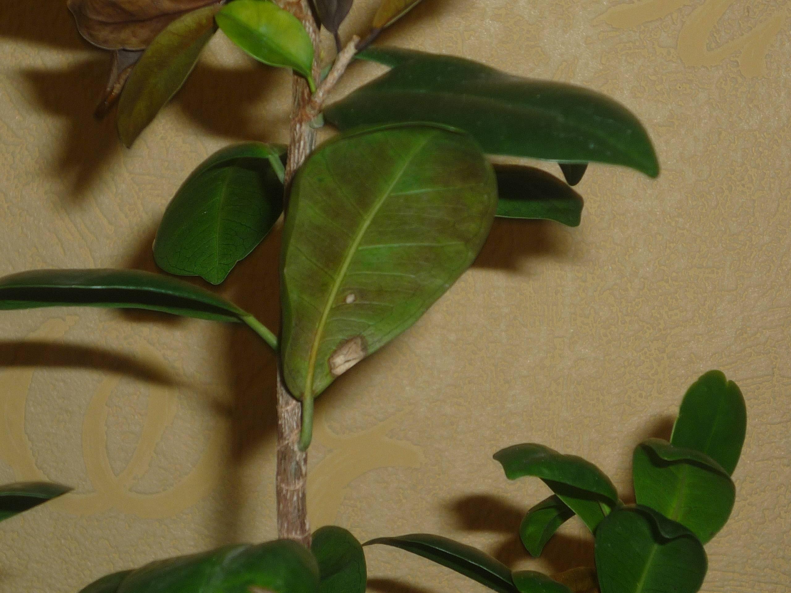 Почему опадают листья у азалии в домашних условиях