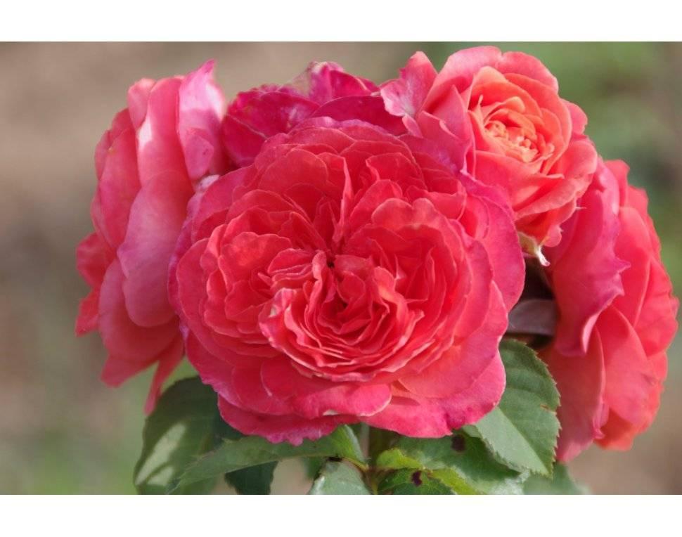 Роза эмильен гийо (emilien guillot) — описание сортового кустарника