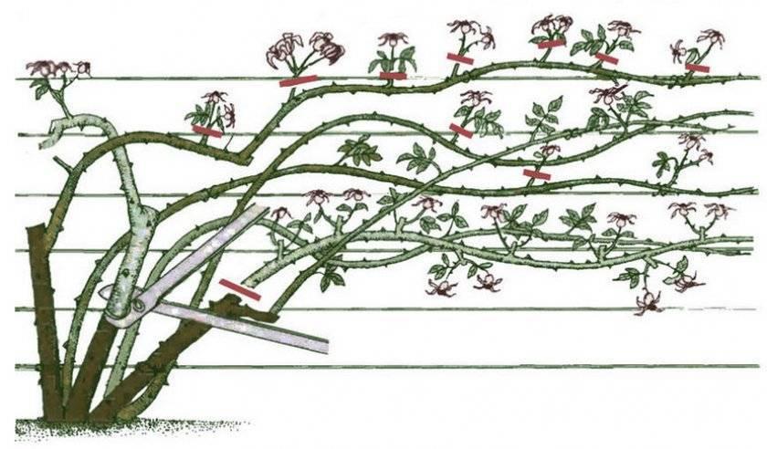Плетистые розы: описание сортов, обрезка и подвязка - энциклопедия цветов