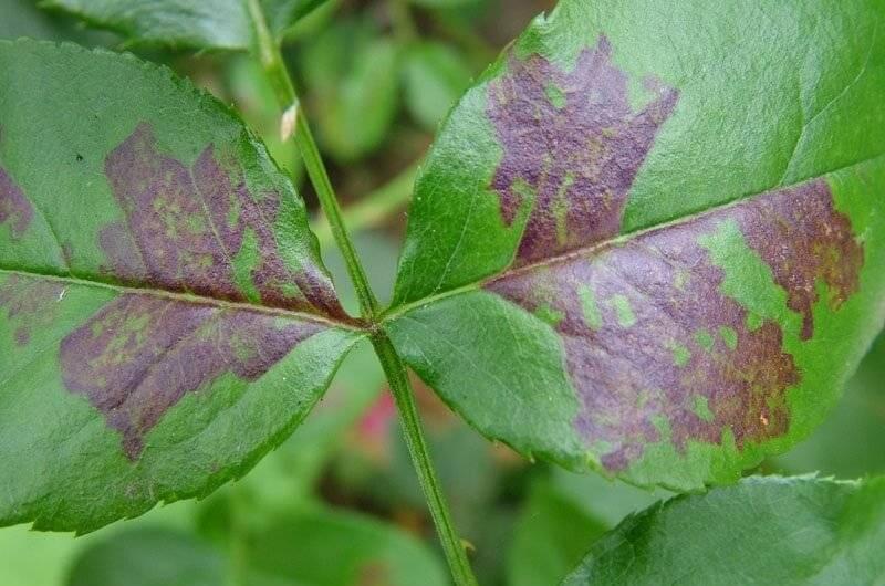 Ржавчина – одна из самых опасных болезней роз