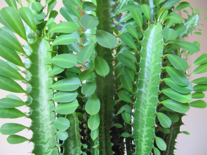 Молочай садовый (euphorbia) — описание многоцветковых, болотных видов