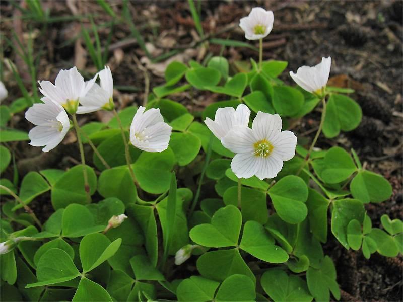 Рекомендации по уходу за растением «кислица обыкновенная (лесная)»: фото