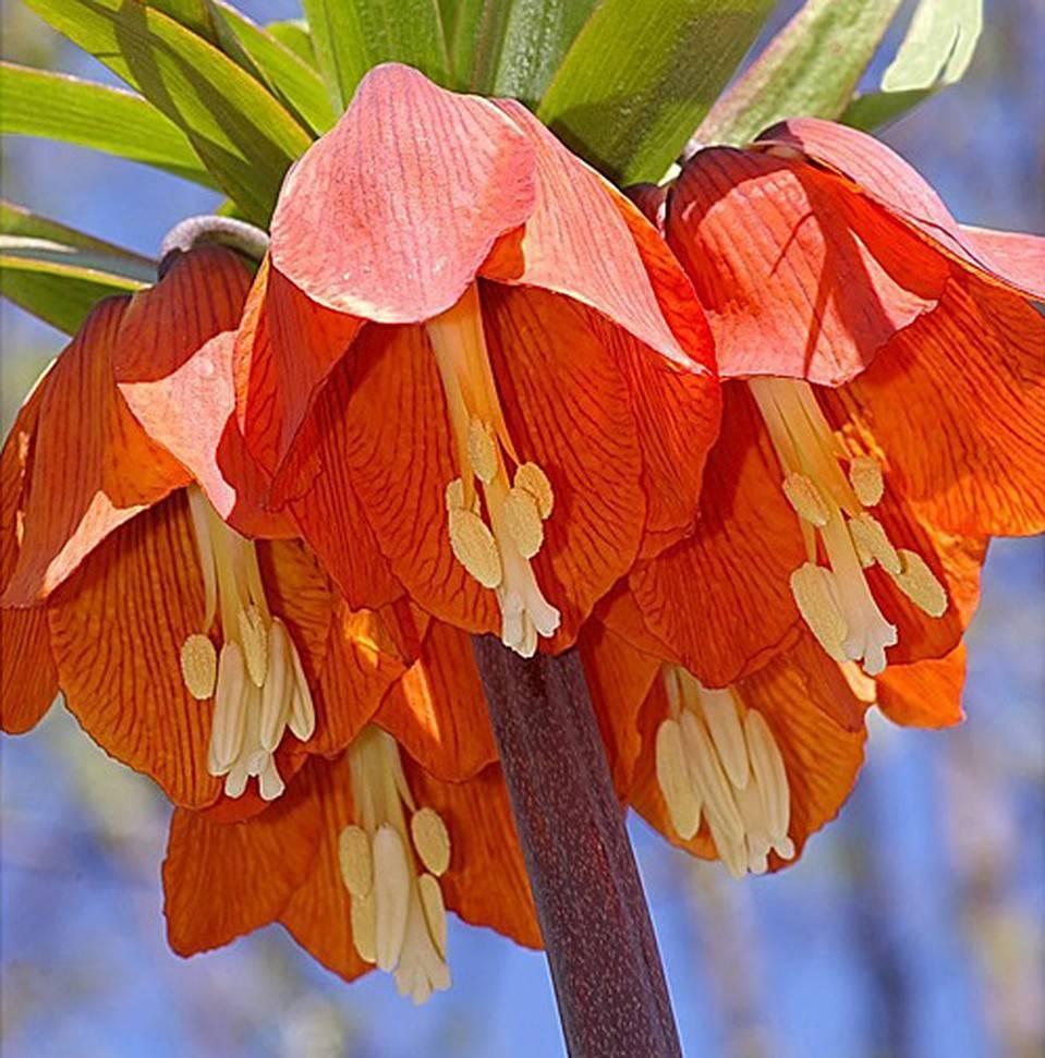 Почему не цветут рябчик императорский — причины и что делать