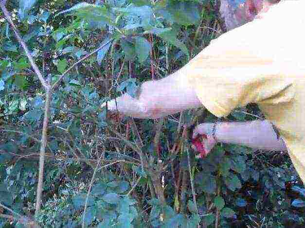 Почему не цветет жасмин садовый или комнатный и что делать
