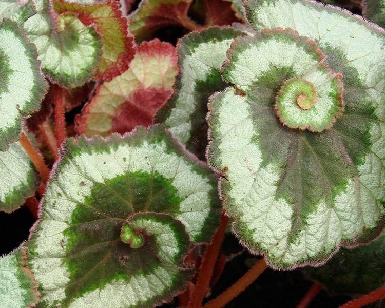 Цветок бегония клубневая в саду и в домашних условиях