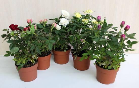 Домашние розы: описание видов и секреты ухода в домашних условиях