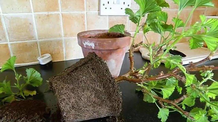 Новая жизнь привычной герани: как правильно пересадить растение в другой горшок?