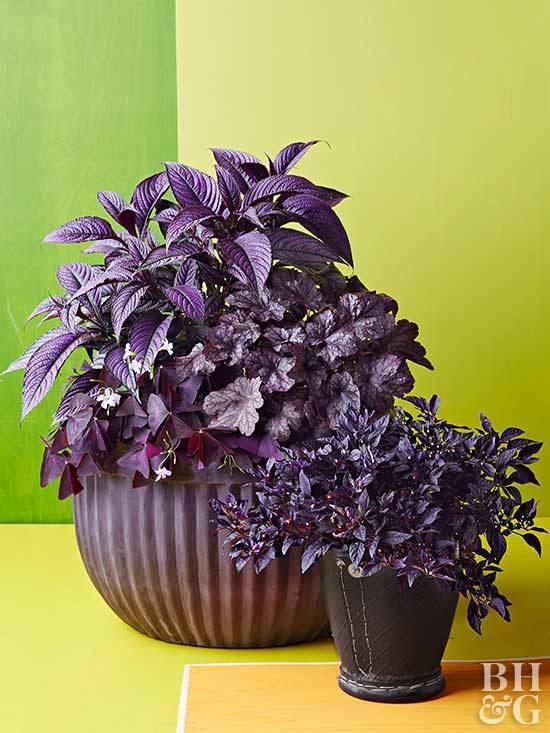 Комнатные цветы с фиолетовыми листьями