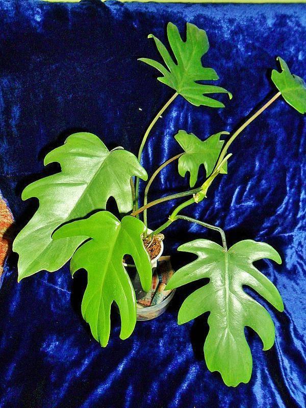 Виды и сорта филодендрона (29 фото): описание филодендрона плющевидного и гитаровидного, сердцевидного и других видов