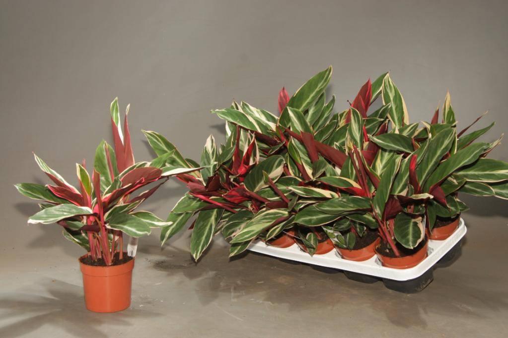 Маранта трехцветная (31 фото): уход за марантой триколор в домашних условиях. описание растения, способы размножения цветка
