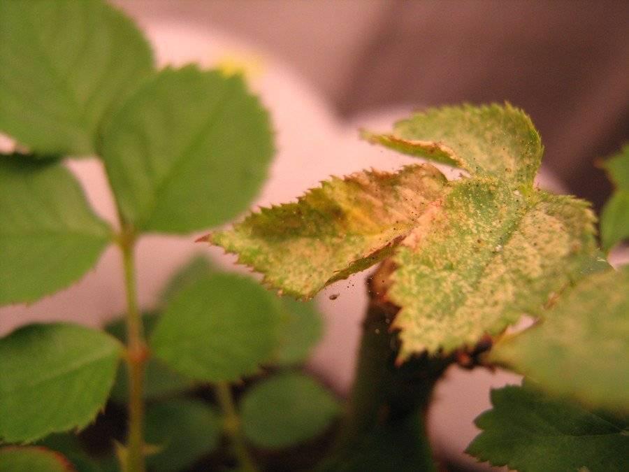 Паутинный клещ на комнатных растениях и цветах: как бороться с ним и избавиться надолго?