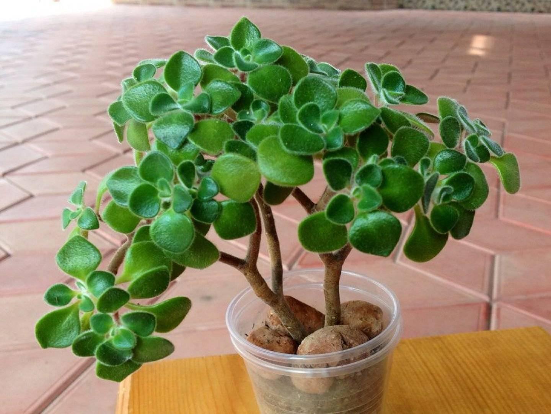 Цветок эониум: виды, происхождение, уход, фото и видео