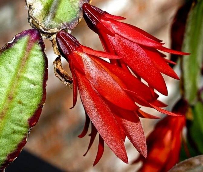Декабрист: почему у цветка листья вялые и мягкие, как это исправить