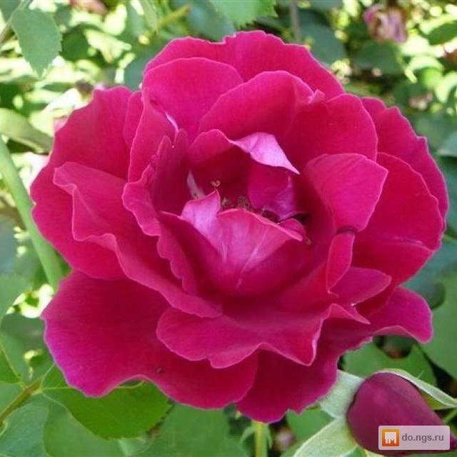 История выведения и основные разновидности канадских роз