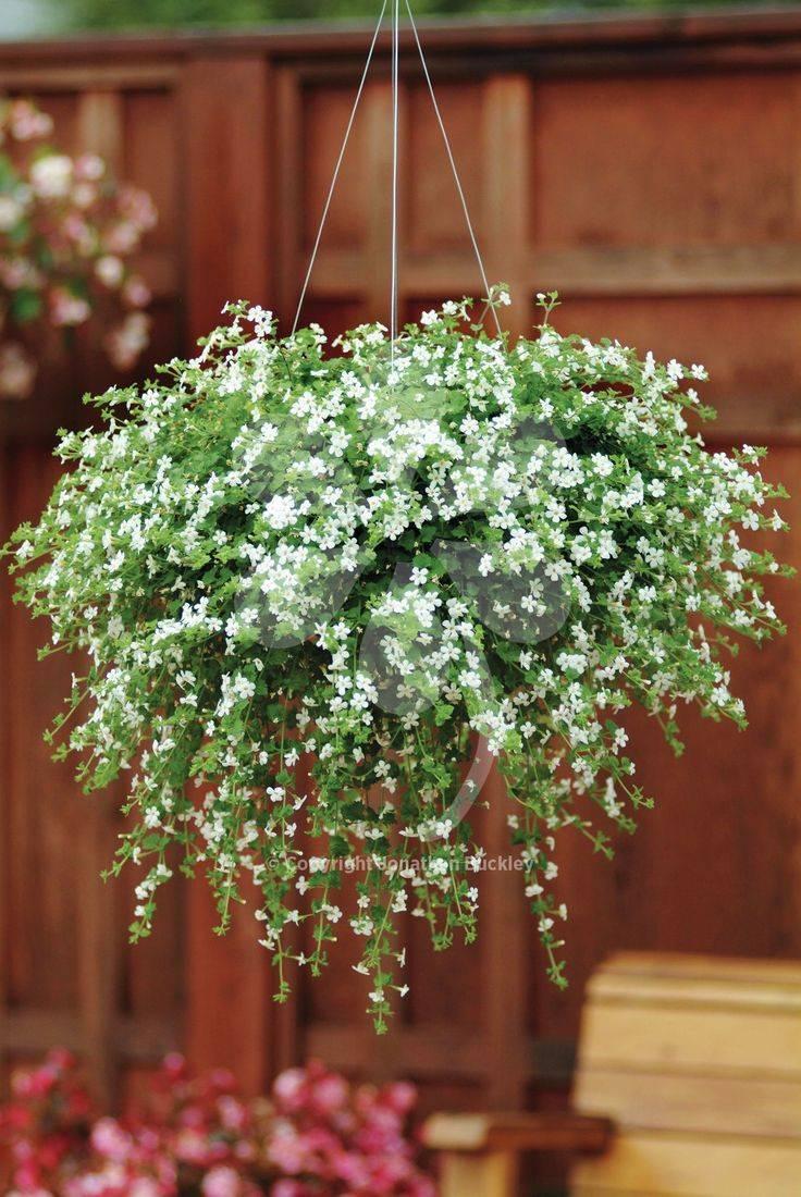 Ампельные цветы: виды и советы по уходу