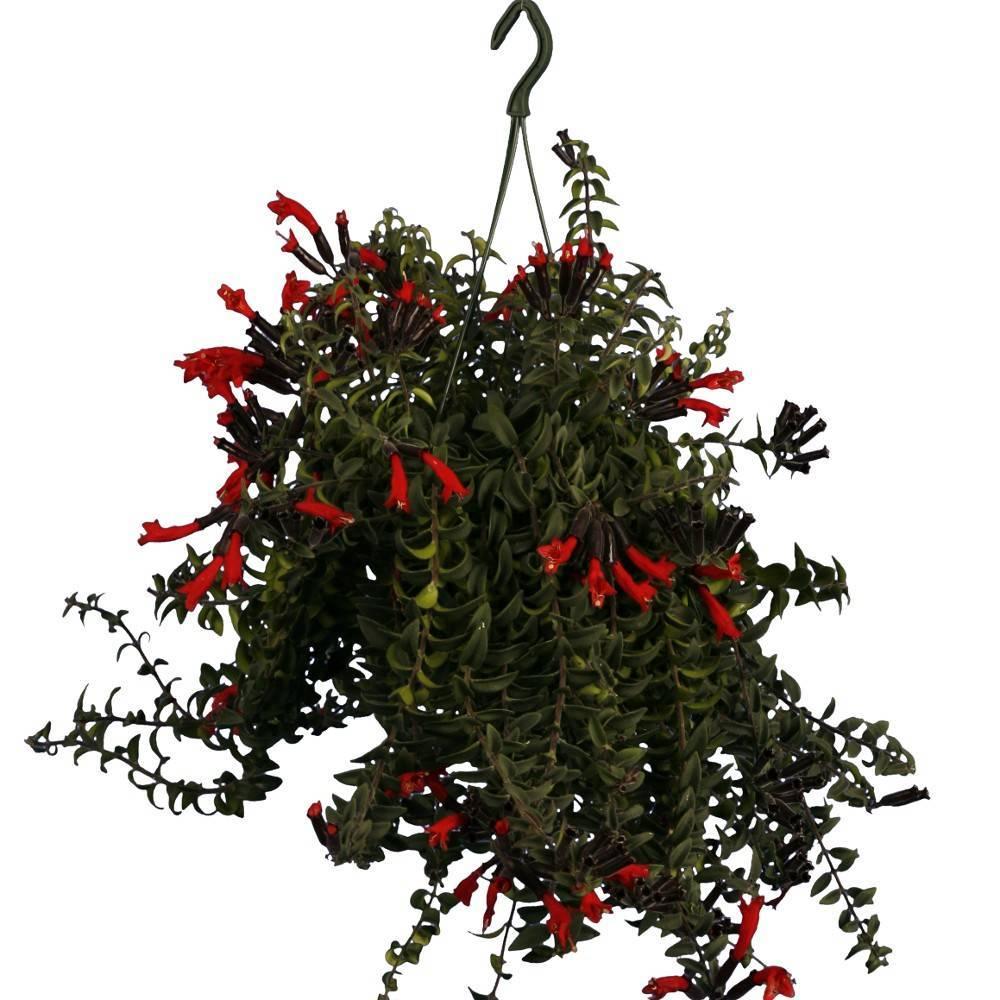 Инструкция для начинающих по уходу за цветком эсхинатусом: температура и освещение