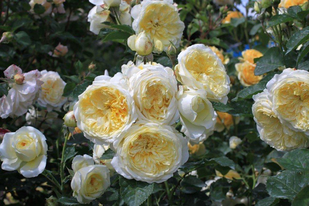 Английская роза: уход и выращивание - подробная информация!